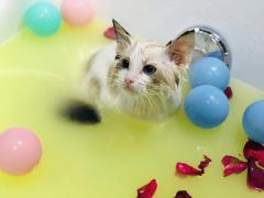 【成都专享】猫 - 盐浴/水疗SPA买4送1 猫咪 猫2≤W<5(短毛)