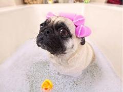 【成都专享】犬 - 盐浴/水疗SPA买4送1 3-6kg